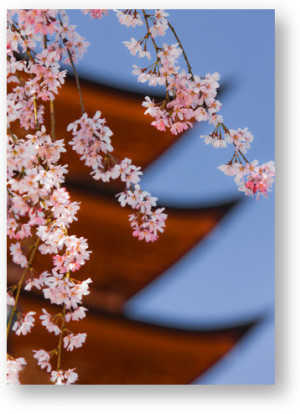 Cherry Blossoms at Itsukushima Jinja Shrine, Japan © Rudy Sulgan/Corbis