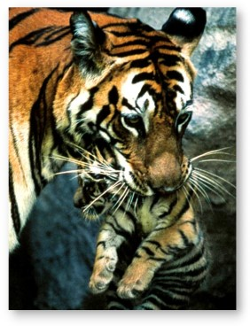 Tiger mother © Michael K. Nichols/National Geographic Society